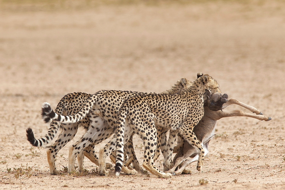 Cheetah (Acinonyx jubatus) dragging baby common wildebeest kill (Connochaetes taurinus) to cover, Kgalagadi Transfrontier Park, South Africa, Africa