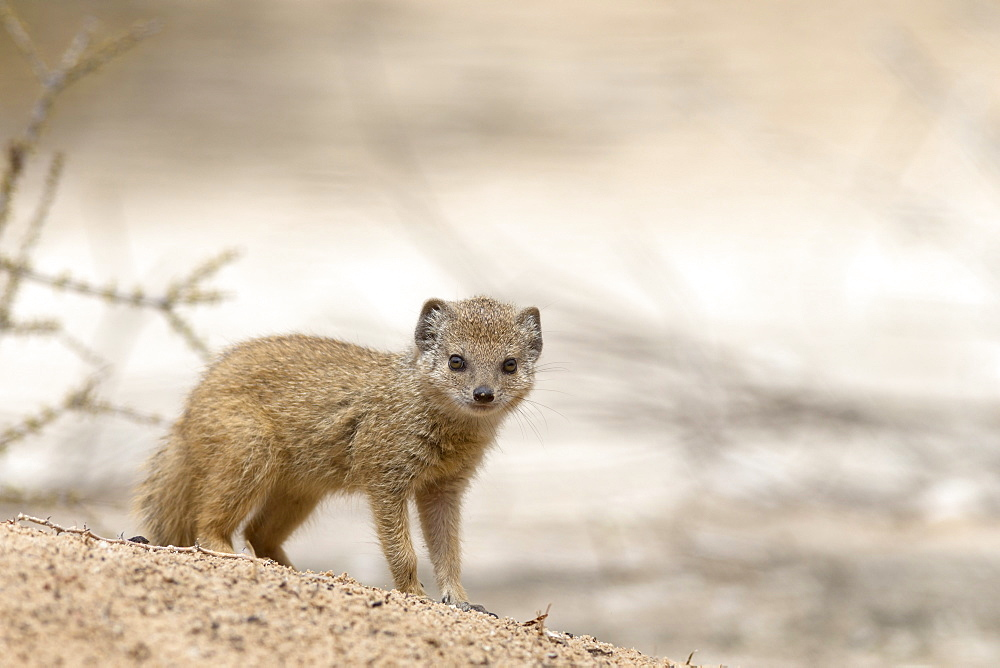 Baby yellow mongoose (Cynictis penicillata), Kgalagadi Transfrontier Park, Northern Cape, South Africa, Afruca