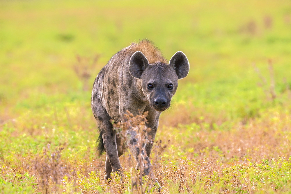 Spotted hyena (Crocuta crocuta), Kgalagadi Transfrontier Park, Northern Cape, South Africa, Africa