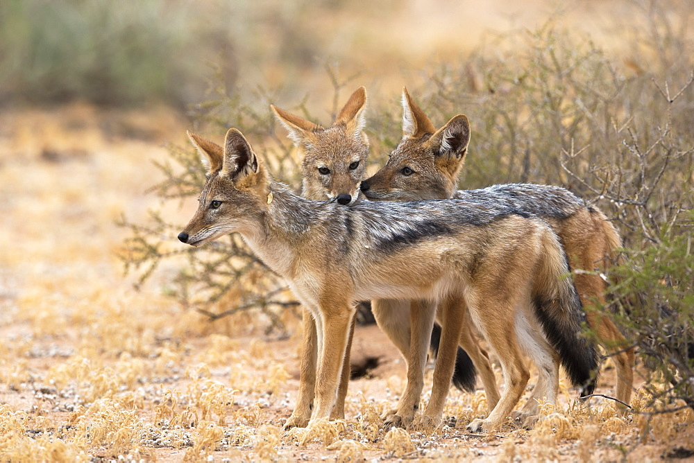 Blackbacked jackals (Canis mesomelas), Kgalagadi Transfrontier Park, South Africa, Africa