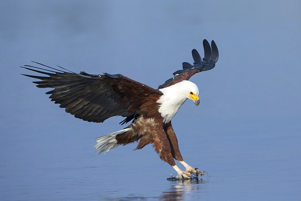 African fish eagle (Haliaeetus vocifer) fishing, Chobe National Park, Botswana, Africa