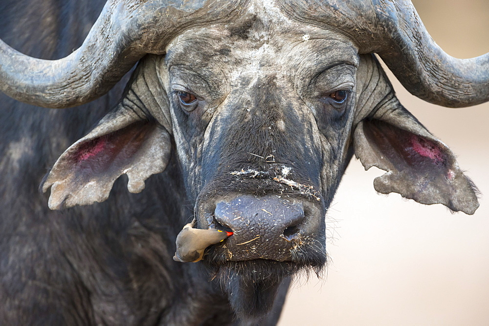 Cape buffalo (Syncerus caffer) with redbilled oxpecker (Buphagus erythrorhynchus), Kruger Park, South Africa, Africa