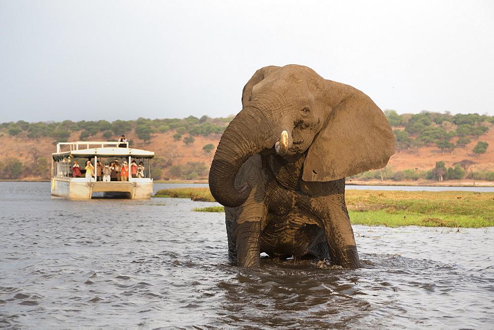 African elephant (Loxodonta africana) and tourists, Chobe National Park, Botswana, Africa - 743-1246