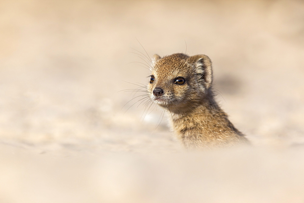 Yellow mongoose baby (Cynictis penicillata), Kgalagadi Transfrontier Park, Northern Cape, South Africa, Africa