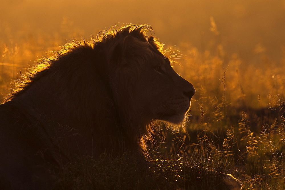 Lion (Panthera leo) at sunrise, Mountain Zebra National Park, Eastern Cape, South Africa, Africa