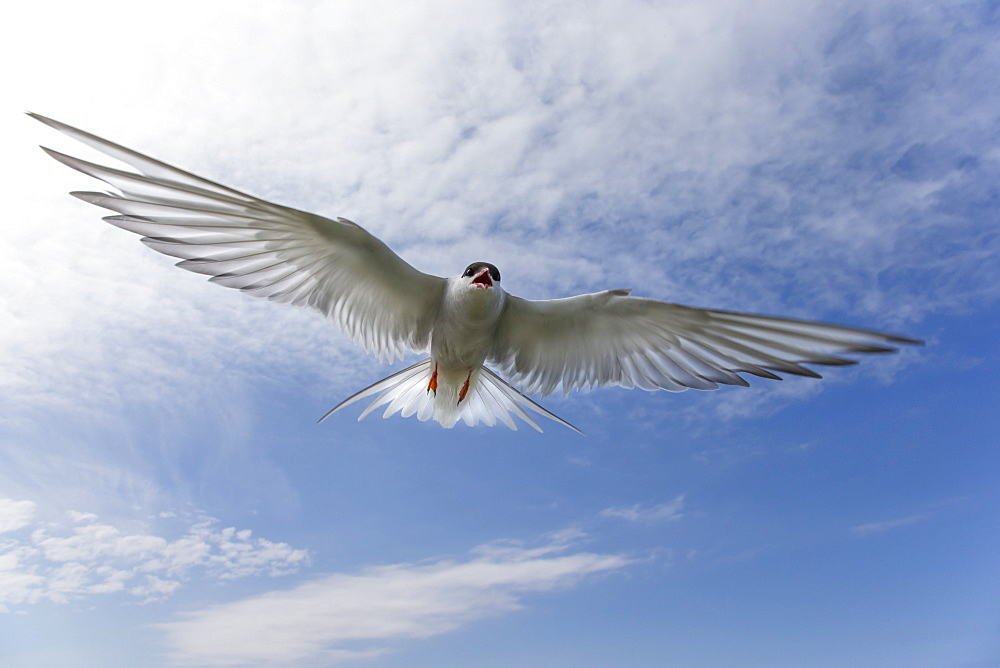 Arctic tern (Sterna paradisaea), in flight, Farne Islands, Northumberland, England, United Kingdom, Europe