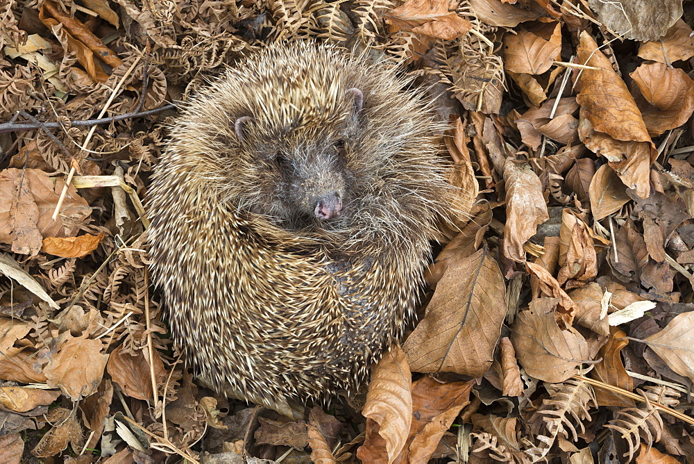 Hedgehog (Erinaceus europaeus)  in autumn leaves, captive, United Kingdom, Europe