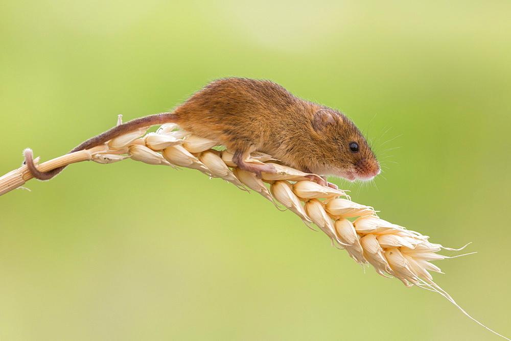 Harvest mouse (Micromys minutus), captive, United Kingdom, Europe - 743-1270