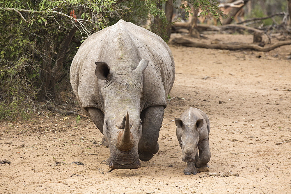 White rhino (Ceratotherium simum) with calf, Kumasinga water hole, Mkhuze game reserve, KwaZulu-Natal, South Africa, Africa