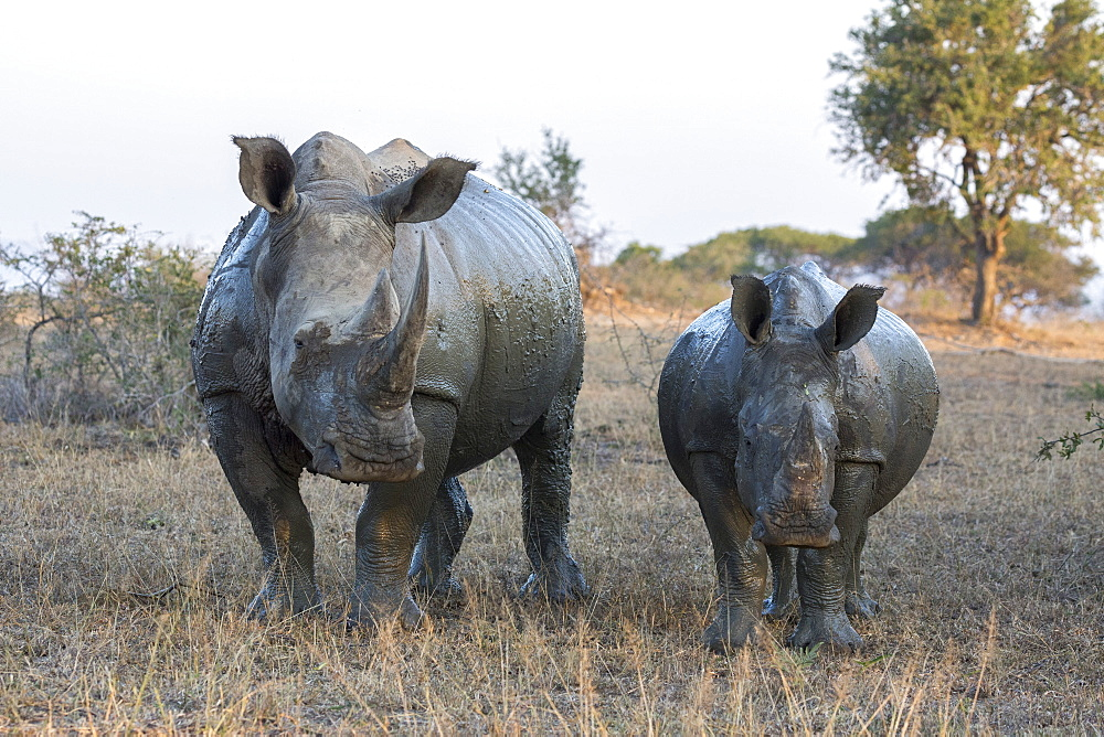 White rhino (Ceratotherium simum) with calf, Hluhluwe-iMfolozi game reserve, KwaZulu-Natal, South Africa, Africa