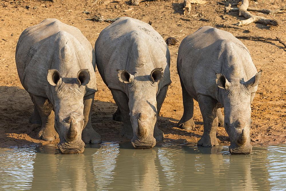 White rhinos (Ceratotherium simum) drinking, Kumasinga water hole, Mkhuze game reserve, KwaZulu-Natal, South Africa, Africa