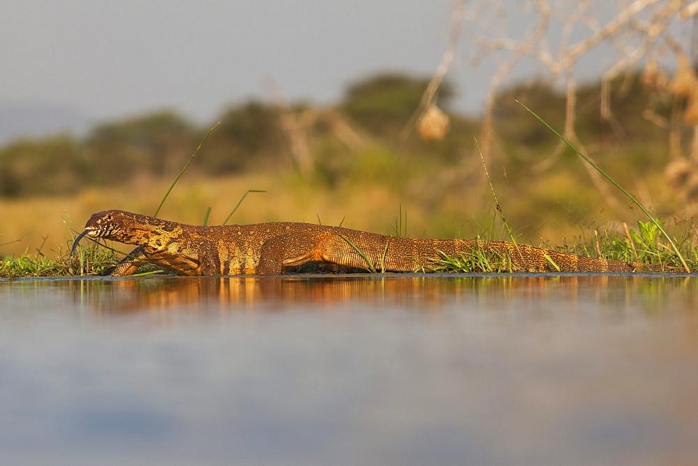 Water monitor (leguaan) (Varanus niloticus), Zimanga private game reserve, KwaZulu-Natal, South Africa, Africa
