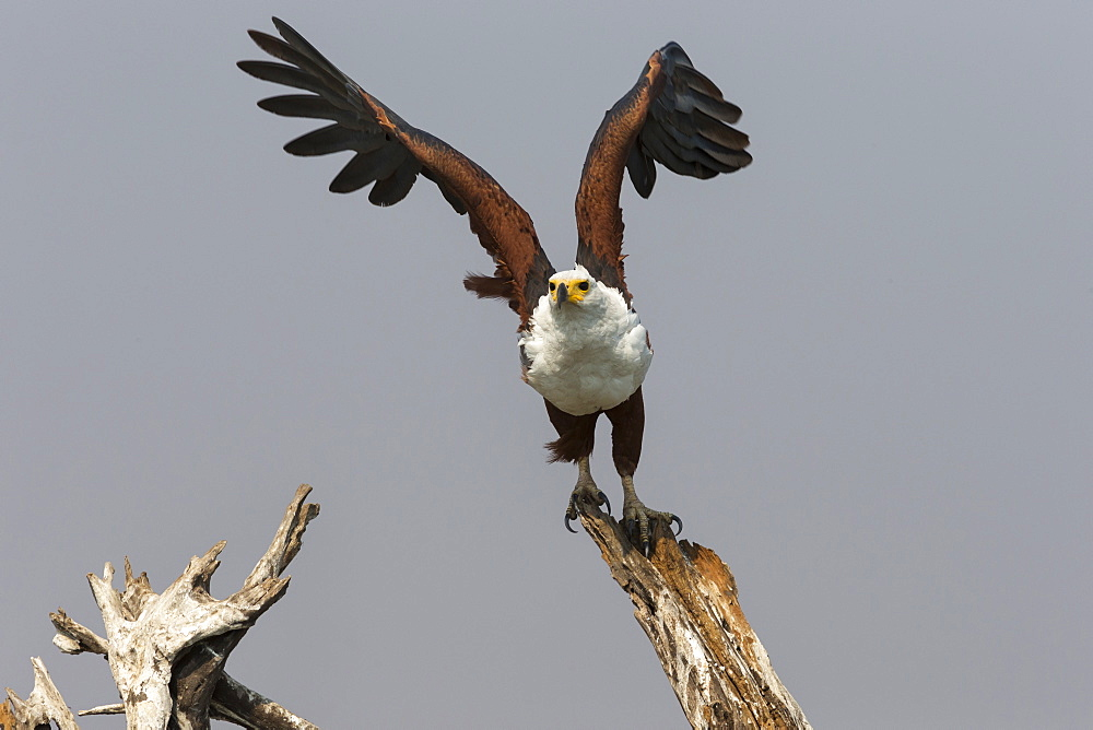 African fish eagle (Haliaeetus vocifer), Chobe National Park, Botswana, Africa