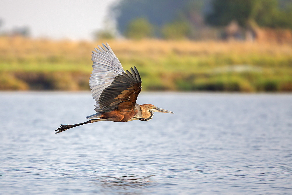 Goliath heron (Ardea goliath) in flight, Chobe National Park, Botswana, Africa