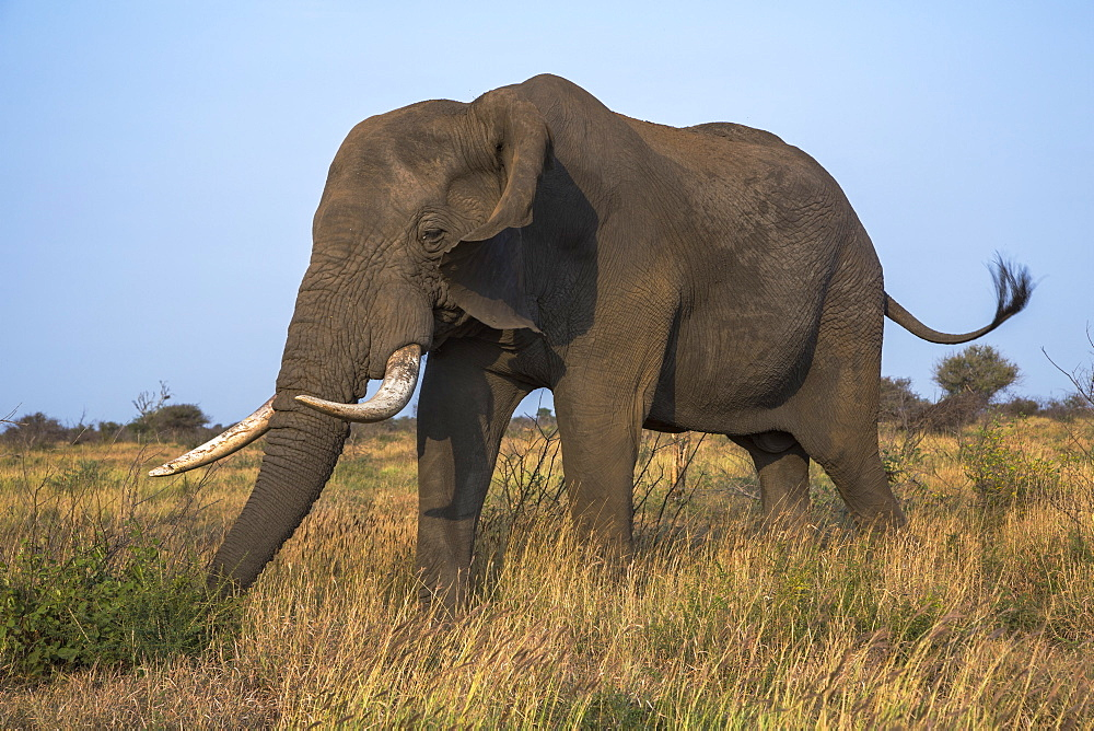 African elephant bull (Loxodonta africana), Kruger National Park, South Africa, Africa