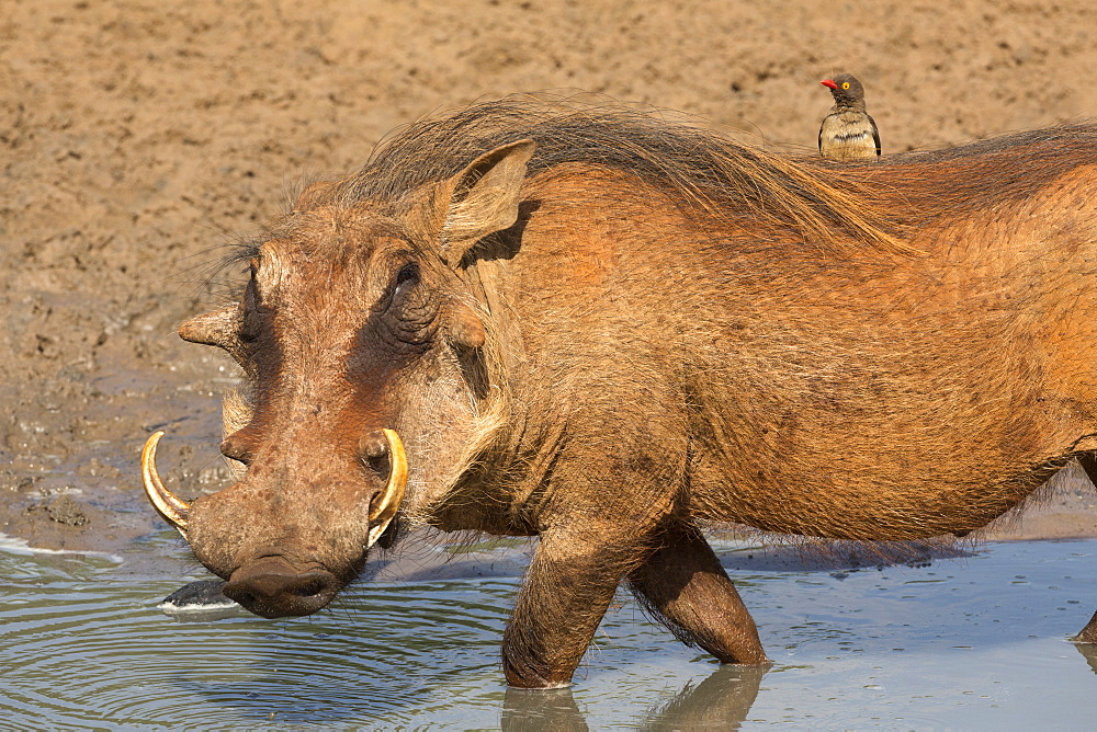 Warthog (Phacochoerus aethiopicus), with redbilled oxpecker (Buphagus erythrorhynchus) Mkhuze game reserve, KwaZulu-Natal, South Africa, Africa