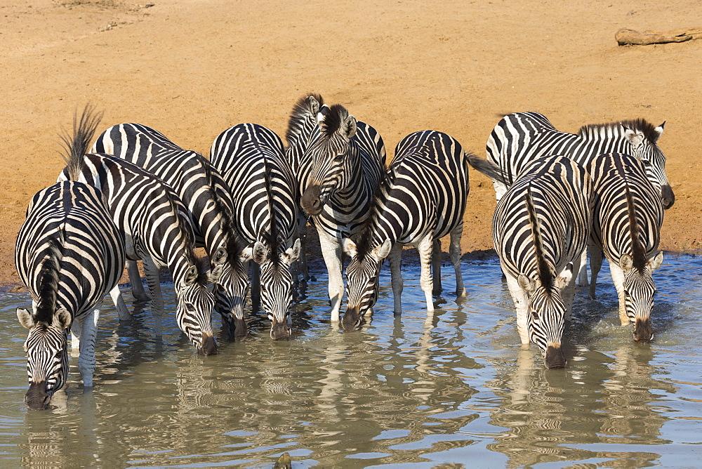 Burchell's zebra (plains zebra) (Equus burchelli) drinking, Mhkuze nature reserve, KwaZulu-Natal, South Africa, Africa