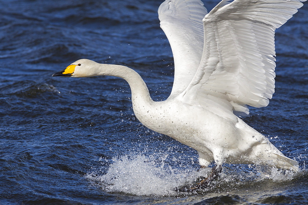 Whooper swan (Cygnus cygnus) flying down on to the water, Welney Wildfowl and Wetlands Trust Reserve, Norfolk, England, United Kingdom, Europe