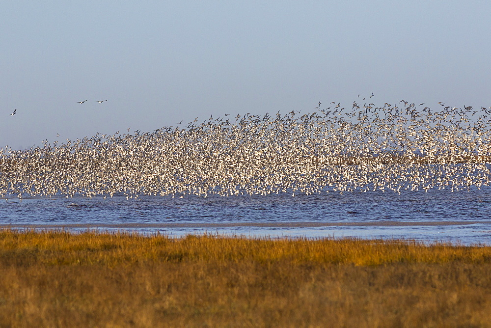 Huge flock of knot (Calidris canutus) in flight, Snettisham RSPB reserve, Norfolk, England, United Kingdom, Europe