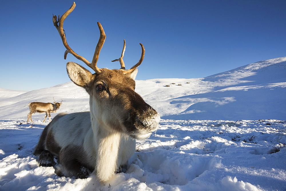 Reindeer (Rangifer tarandus) female, Cairngorms National Park, Scotland, United Kingdom, Europe