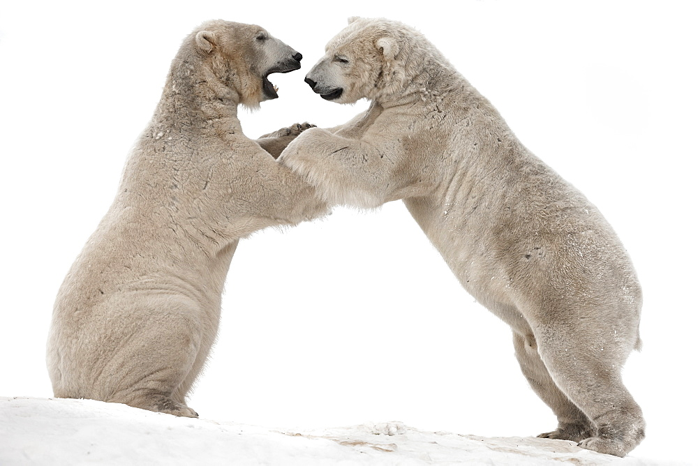 Polar bear (Ursus maritimus) males playfighting, captive, Highland Wildlife Park, Kingussie, Scotland, United Kingdom, Europe - 743-1315