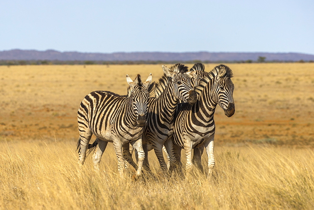 Pains zebra (Equus quagga burchelli), Mokala National Park, South Africa, Africa