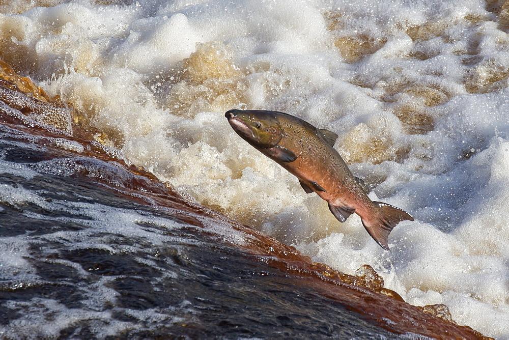 Atlantic salmon (Salmo salar) leaping on upstream migration, River Tyne, Hexham, Northumberland, England, United Kingdom, Europe