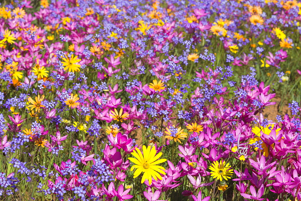 Spring wildflowers, Papkuilsfontein farm, Nieuwoudtville, Northern Cape, South Africa, Africa