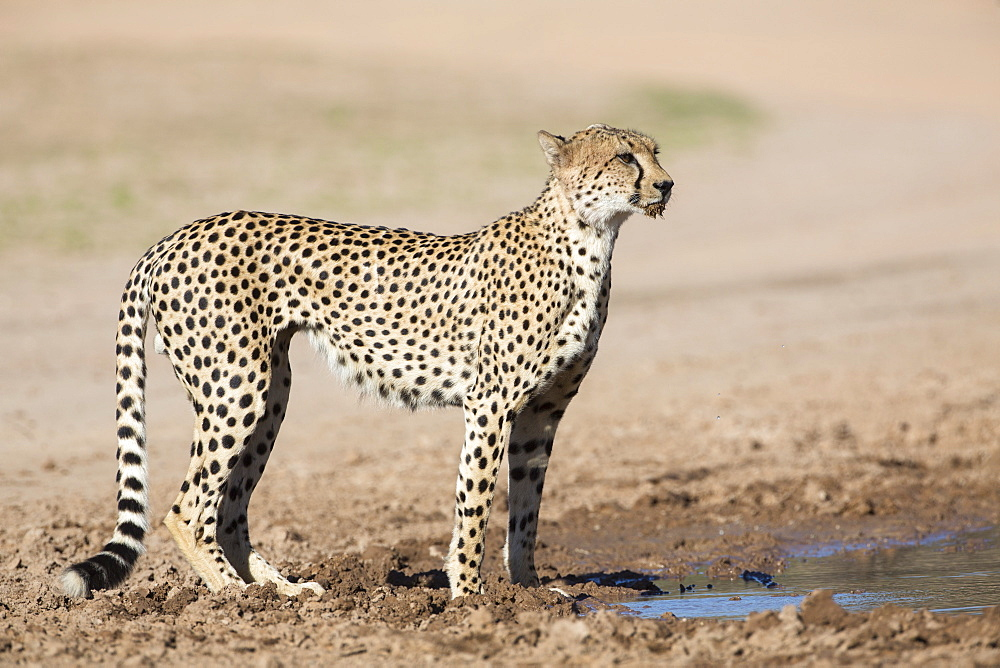 Cheetah (Acinonyx jubatus) at water, Kgalagadi Transfrontier Park, Northern Cape, South Africa, Africa