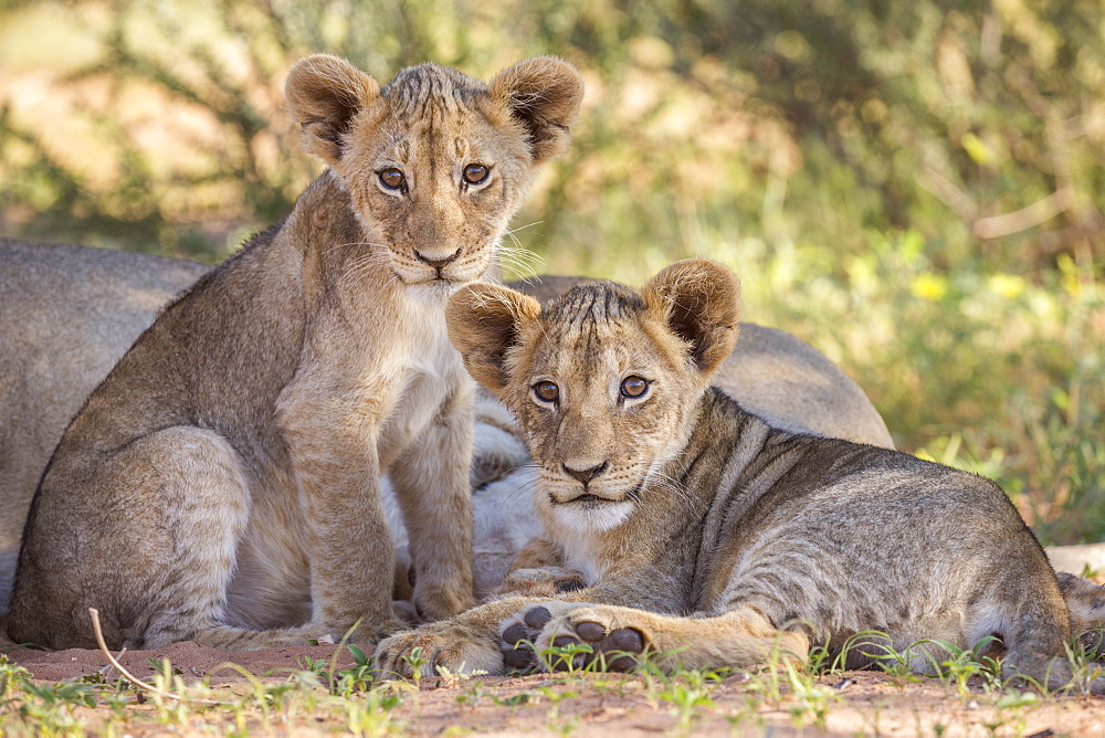 Lion cubs (Panthera leo), Kgalagadi Transfrontier Park, Northern Cape, South Africa, Africa