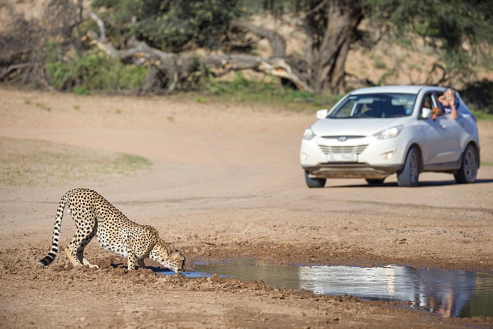 Cheetah (Acinonyx jubatus) seen on self drive safari, Kgalagadi Transfrontier Park, South Africa, Africa