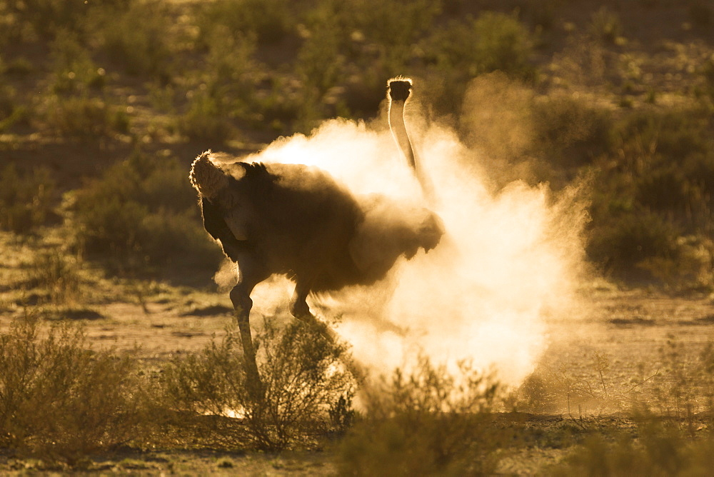Ostrich (Struthio camelus) dustbathing, Kgalagadi Transfrontier Park, South Africa, Africa