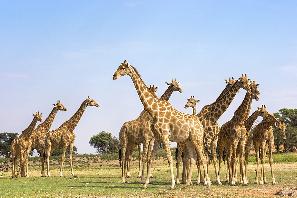 Giraffes (Giraffa camelopardalis) in a group, Kgalagadi Transfrontier Park, Northern Cape, South Africa, Africa