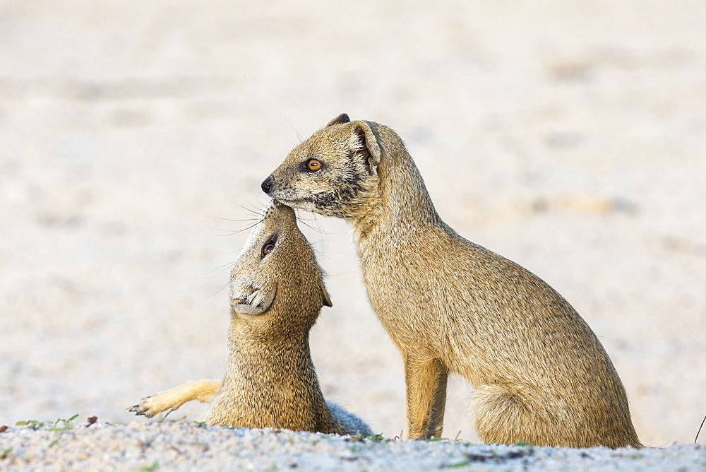 Yellow mongoose (Cynictis penicillata), Kgalagadi Transfrontier Park, Northern Cape, South Africa, Africa