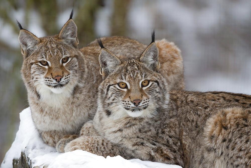 Northern lynx (Lynx lynx lynx), captive, Highland Wildlife Park, Kingussie, Scotland, United Kingdom, Europe - 743-1385