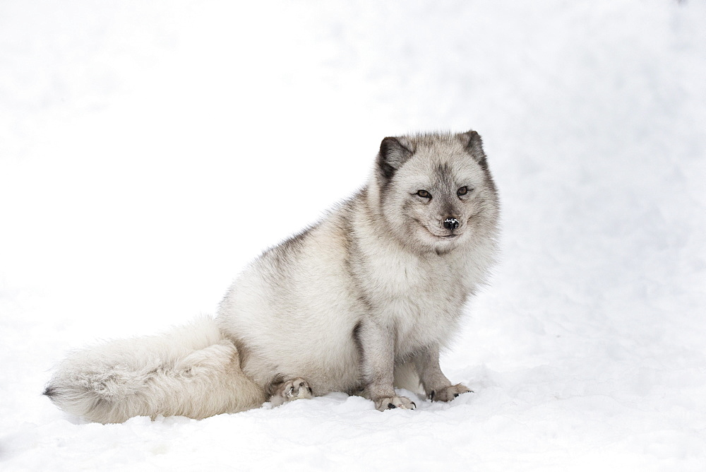 Arctic fox vixen (Vulpes lagopus), captive, Highland Wildlife Park, Kingussie, Scottish Highlands, Scotland, United Kingdom, Europe