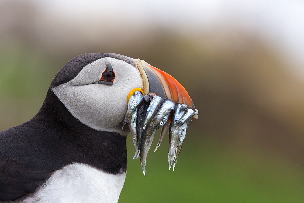 Puffin (Fratercula arctica) with sand eels, Farne Islands, Northumberland, England, United Kingdom, Europe - 743-1392