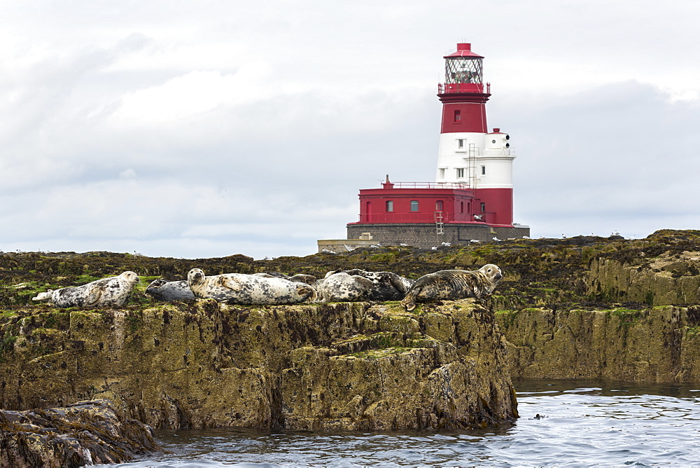 Grey seals (Halichoerus grypus) near Longstone lighthouse, Longstone Rock, Farne Islands, Northumberland, England, United Kingdom, Europe