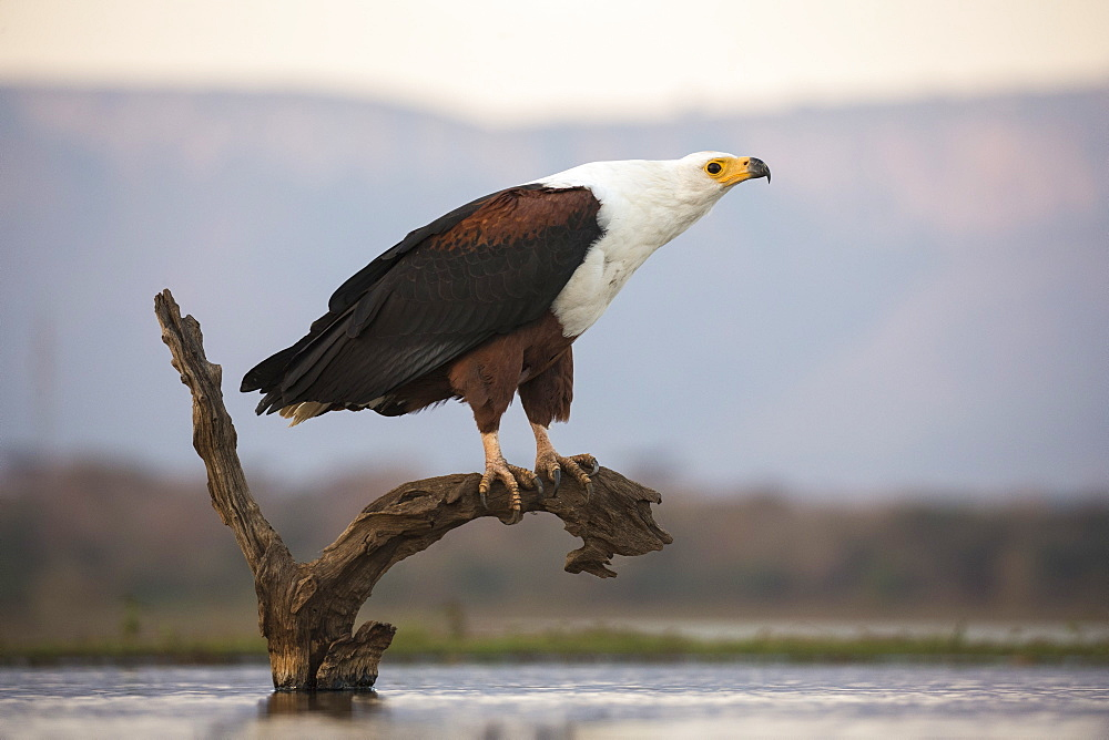 African fish eagle (Haliaeetus vocifer), Zimanga private game reserve, KwaZulu-Natal, South Africa, Africa