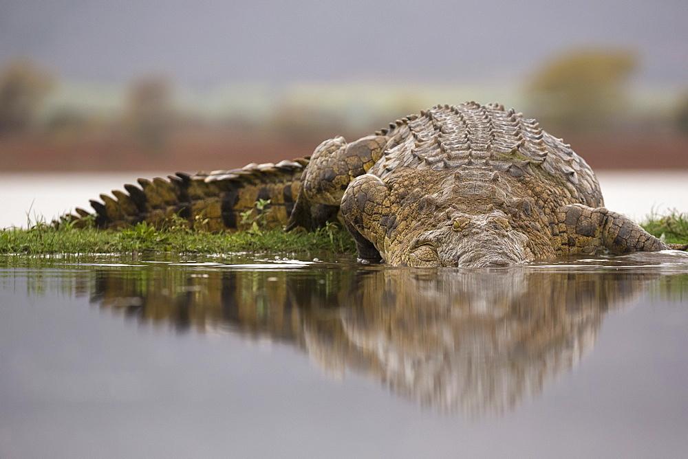Nile crocodile (Crocodylus niloticus), Zimanga private game reserve, KwaZulu-Natal, South Africa, Africa