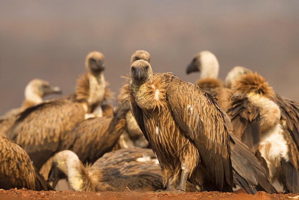 Whitebacked vultures (Gyps africanus), Zimanga private game reserve, KwaZulu-Natal, South Africa, Africa