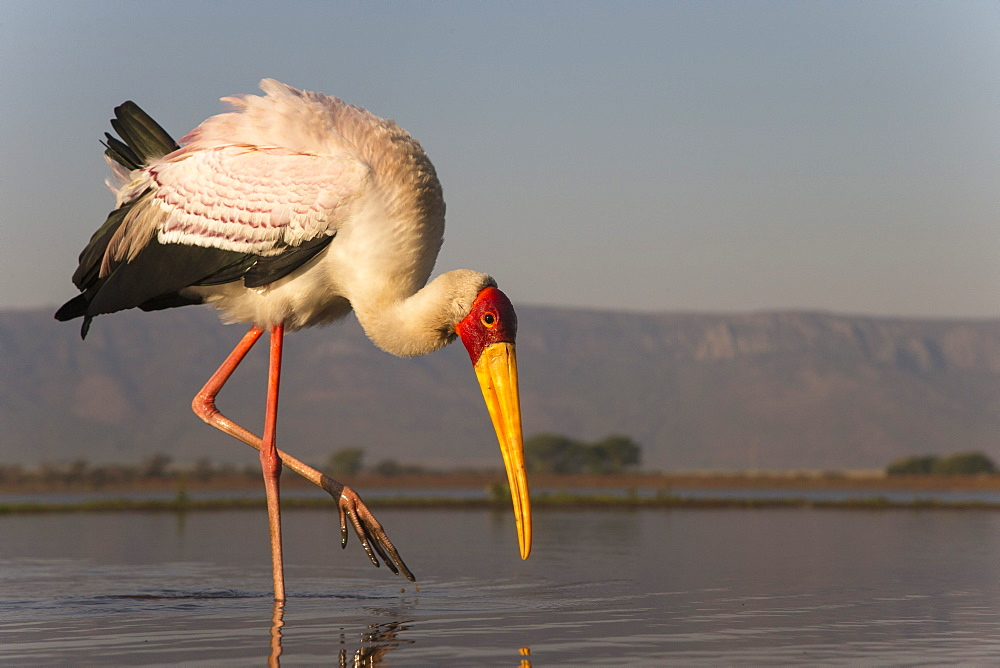 Yellowbilled stork (Mycteria ibis), Zimanga private game reserve, KwaZulu-Natal, South Africa, Africa - 743-1415
