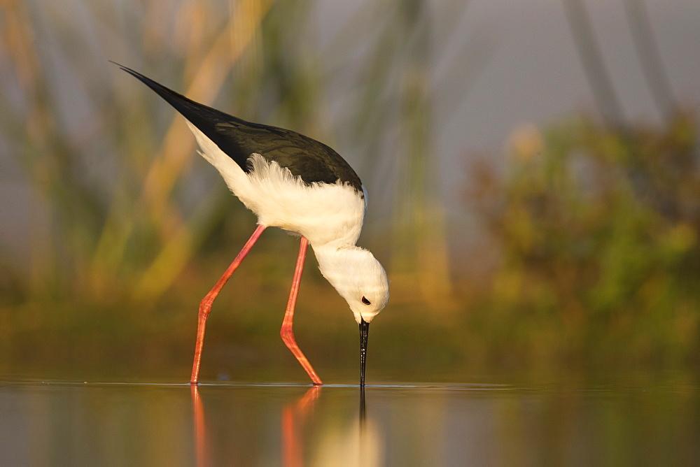 Blackwinged stilt (Himantopus himantopus), Zimanga private game reserve, KwaZulu-Natal, South Africa, Africa