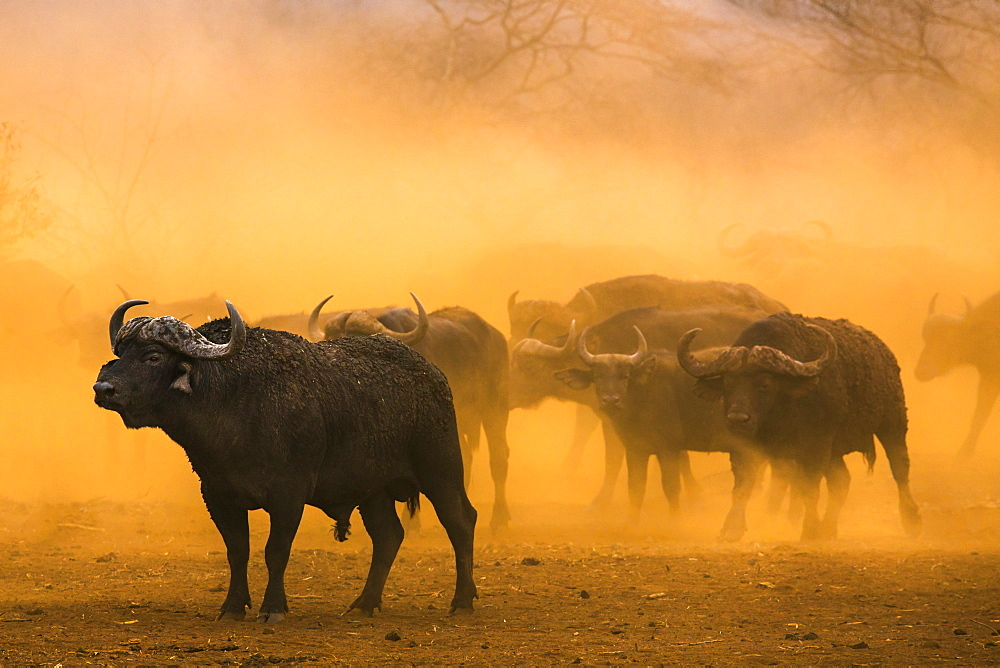 Cape buffalo (Syncerus caffer) herd, Zimanga private game reserve, KwaZulu-Natal, South Africa, Africa
