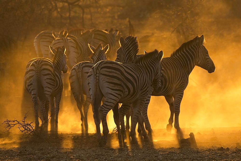 Plains zebra (Equus quagga), Zimanga private game reserve, KwaZulu-Natal, South Africa, Africa