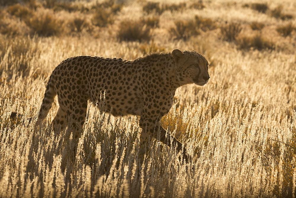 Cheetah (Acinonyx jubatus), Kgalagadi Transfrontier Park, Northern Cape, South Africa, Africa