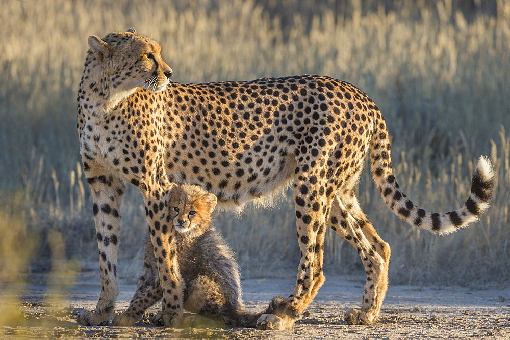 Cheetah (Acinonyx jubatus) with cub, Kgalagadi Transfrontier Park, Northern Cape, South Africa, Africa