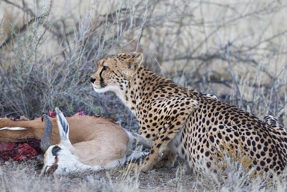 Cheetah (Acinonyx jubatus) on springbok kill, Kgalagadi Transfrontier Park, Northern Cape, South Africa, Africa