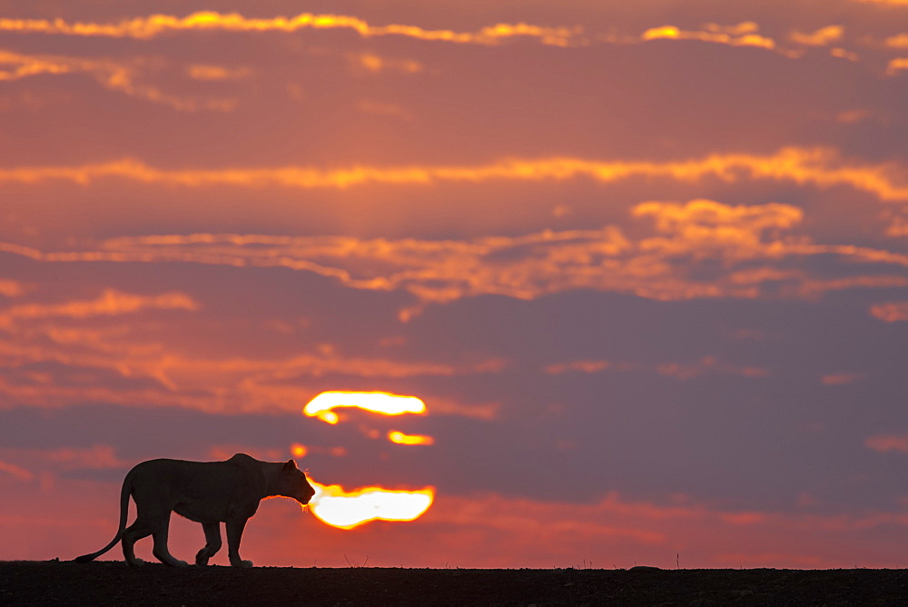Lioness (Panthera leo) at dawn, Zimanga private game reserve, KwaZulu-Natal, South Africa, Africa - 743-1449