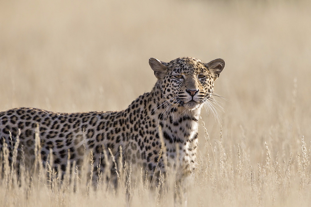 Leopard female (Panthera pardus), Kgalagadi Transfrontier Park, South Africa, Africa